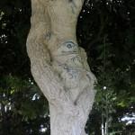 emstilleuls_arbre-150x150